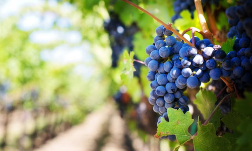 Viticulture - The 6 Most Important Farming Products in Canada